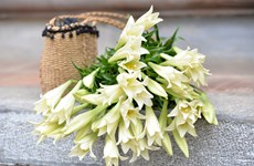 Inicia temporada de floración del lirio en Vietnam
