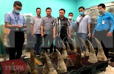 Incautan 90 kilogramos de cuernos de rinocerontes en aeropuerto vietnamita