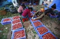 Certificado de Indicación Geográfica favorece exportación de lichi de Bac Giang de Vietnam