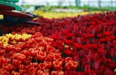 [Fotos] Exhibición de tulipanes en Vinpearl Land Nha Trang