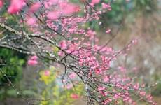 [Fotos] Segundo Festival de la flor de cerezo en Dien Bien