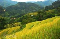 [Foto] Doradas terrazas arrozales en Hoang Su Phi
