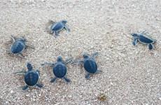 [Foto] Ninh Thuan libera centenares de tortugas al mar