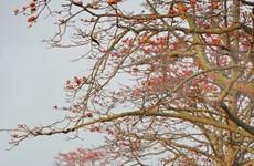 [Foto] Algodoneros rojos en plena floración