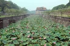 [Foto] Florecen lotos en la antigua ciudad imperial Hue