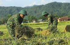[Foto] Dien Bien: soldados ayudan a agricultores a cosechar arroz
