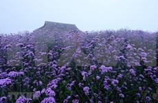 [Foto] Campo de las flores de la nuez vómica en Sapa