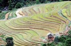 [Foto] Colores de terrazas arrozales pintan las montañas de Son La