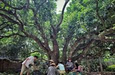 [Foto] Árbol de lichi de cientos de años en Thanh Ha, Hai Duong