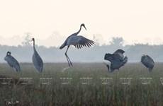 Admiran aves acuáticas endémicas en Vietnam