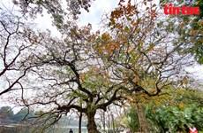 Hanoi en temporada de cambio de hojas de manglares de agua dulce