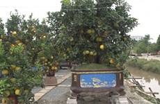Cultivo de plantas ornamentales para Año Nuevo Lunar, un negocio rentable