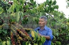 Sector cafetero de Vietnam apunta seis mil millones USD de exportación en 2030