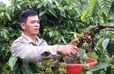 Dak Lak se esfuerza por aumentar exportaciones de café procesado