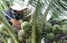 Estudian en Italia experiencias para aumentar valor del coco vietnamita