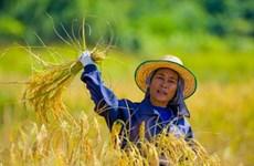 Tailandia venderá todo el arroz de su reserva en 2017