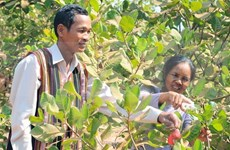 Disminuye cultivo de anacardo en las provincias altiplánicas de Vietnam
