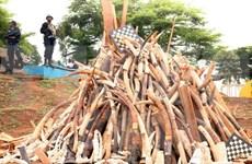Singapur prohibirá compraventa de colmillos de elefantes