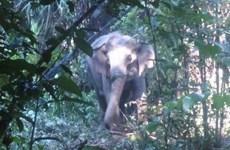 Provincia de Vietnam construirá zona de protección de elefantes