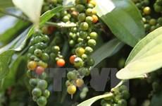Vietnam busca incrementar tasa de café procesado