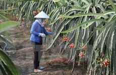 Vietnam exportará gran volumen de pitahayas de pulpa roja a Japón