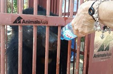 Rescatan a dos osos tibetanos en provincia altiplánica de Vietnam