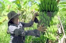 Vietnam exporta plátano a Dubái