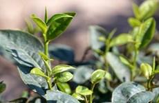 Industria vietnamita del té afronta obstáculos para establecer marca nacional
