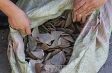 Malasia decomisa 712 kilogramos de escamas de pangolín