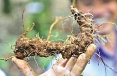 Lanzan en Vietnam proyecto multimillonario para el cultivo del ginseng Ngoc Linh