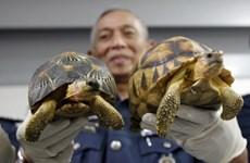 Malasia: Decomisan centenares de tortugas de contrabando de Madagascar