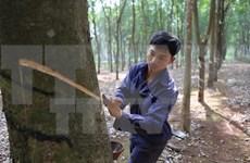 Altiplanicie Occidental de Vietnam fomenta cultivo intensivo de cauchos