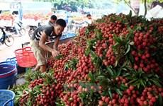 Bac Giang exportará a China 80 por ciento de volumen de lichi dedicado a la venta