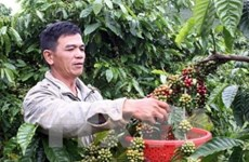 Café robusta de Buon Ma Thuot presente en numerosos países