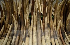 Thanh Hoa incauta mayor carga ilegal de supuestos objetos de marfil de elefante