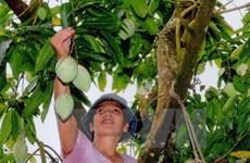 Empresa vietnamita aumentará exportación de mango a Australia