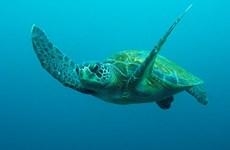 Vietnam: Liberan a tortuga marina en peligro de extinción