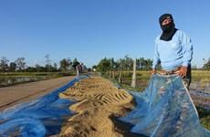 Tailandia aprueba paquete financiero a favor de cultivadores de arroz