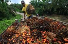 Indonesia puede suministrar ocho millones de toneladas de aceite de palma a Europa