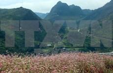 Inauguran Festival de flores de alforfón en meseta Dong Van