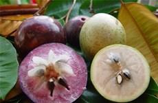 Vietnam planea establecer zonas de cultivo de caimito para exportación a EE.UU.