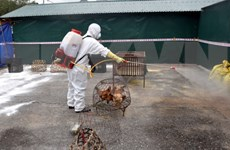 Vietnam no reporta nueva cepa de gripe aviar