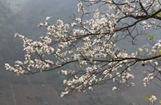 Festival de flor de Bauhinia blanca, símbolo de noroeste de Vietnam