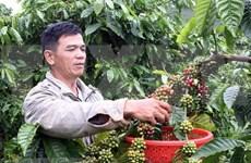 Vietnam ingresa mil millones de dólares por exportaciones de café en primer trimestre