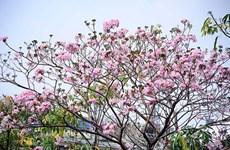 Ciudad Ho Chi Minh se tiñe de rosa con árboles de trompeta de color