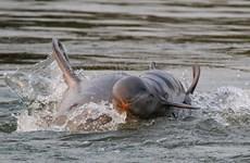 Delfín de Irrawaddy sale de la lista de especie en peligro de extinción