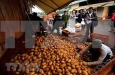 Provincia vietnamita de Lam Dong busca desarrollar marca de patata Da Lat