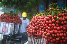 Provincia vietnamita espera ingresar  más de 240 millones de dólares por lichi