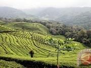 Té negro de Indonesia gana premio internacional