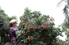 Vietnam exporta por primera vez longan del distrito Song Ma